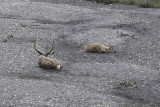 The Caribou Itch at Denali