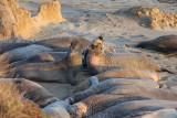 elephant seals at the Piedras Blancas beach