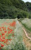 Poppys in the landscape / Valmuer i markerne