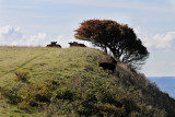 The cattle graze and digest on the hill / Kvæg græsser og fordøjer på højen