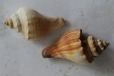 Shell from the sea / Sneglehuse fra havet