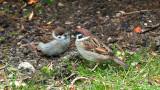 Sparrow with fledgling / Spurv med unge