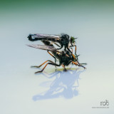 Robber fly, mating pair /Rovflue parrer