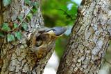 Eurasian Nuthatch with fledgling / Spætmejse med unge