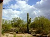 Desert Saguaro