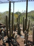 A stand of cactus at the Botanical Gardens