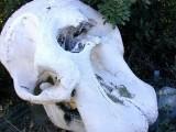 ElephantSkull/Phoenix Zoo