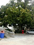 Giant Magnolia Tree in Front of the Lucky Snapper