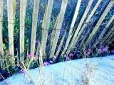 Sand Verbena along the fence line