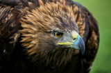 Eagles and Hawks portrait