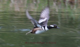 Skittish Hooded (male) Mergansers