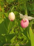 Cypridedium Reginae, altho commonly called showy Lady Slipper