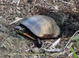 Painted Turtle after laying the eggs