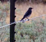Mountain Bluebird on the fence