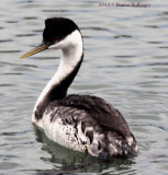 Western Grebe with Oil on his feathers?
