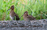 Just before dark, two baby snipes (Gallinago delicata)
