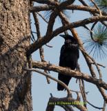 900.Raven.copy.jpg