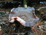A Big Mushroom We Found on the Assabet
