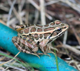 Pickerel Frog on Hose