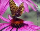 Aphrodite Fritillary on Echinacea