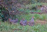 Chrissy's Hens