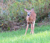 Fawn Eating Apples At Dusk
