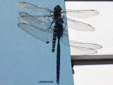 A Darner Dragonfly