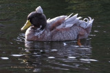 Horsefeathers on a duck