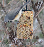 Titmouse on a nutlog