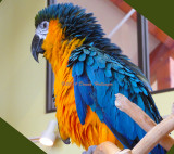 Fluffed Out Macaw