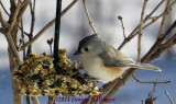 Titmouse Feeding in the Lilac