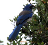 The blues in Island Scrub Jay