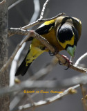 Evening Grosbeak Eating Suet