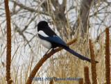 Magpie in Colorado