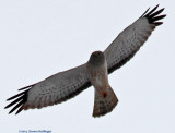 Northern Harrier 1st winter
