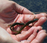 Two Newts in Peter's Hands