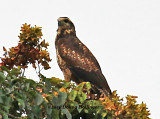 Black-chested Buzzard-Eagle  immature  maybe?