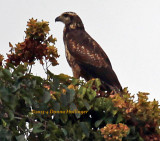 Black-chested Buzzard-Eagle,  immature