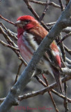 Purple Finch Today