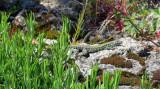 lizard on a stone wall