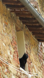Village Black Cat