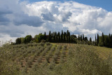 Chianti Vineyard Near Dievole