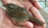 A  Lincoln's Sparrow