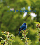 Indigo Bunting has arrived!
