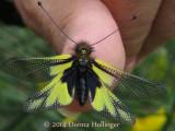 Owlfly (Ascalaphus macaronius)