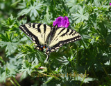 SwallowTail Butterfly on Cranesbill
