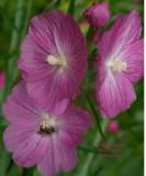 Cimifuga Flower with bug