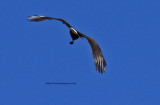 Snail Kite with Snail