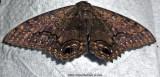 Moth At Dinner