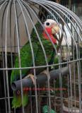 Garrido's Pet (Cuban)Parrot